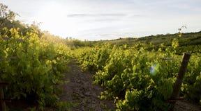 日落的葡萄园在一个夏日 库存照片