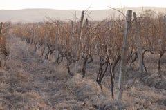 日落的葡萄园在冬天 图库摄影