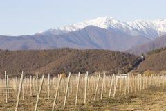 日落的葡萄园在冬天 免版税库存图片