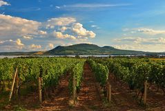 日落的葡萄园在秋天收获成熟葡萄 酒地区,南摩拉维亚-捷克 在Palava下的葡萄园 免版税图库摄影