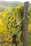 日落的葡萄园在秋天收获风景用在藤分支的有机葡萄 免版税图库摄影