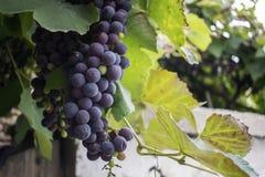 日落的葡萄园在秋天收获 免版税库存照片