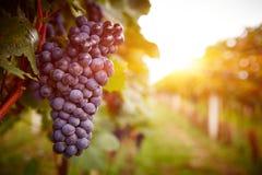 日落的葡萄园在秋天收获 免版税库存图片