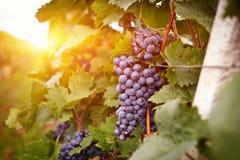 日落的葡萄园在秋天收获 库存照片
