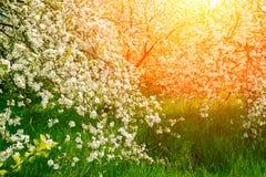 日落的葡萄酒果树园 免版税库存照片