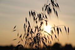 日落的野燕麦植物 免版税库存照片