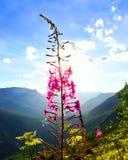 日落的野草植物在冰川国家公园 免版税图库摄影