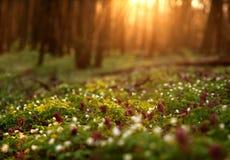 日落的,春天自然背景开花的森林 免版税库存图片