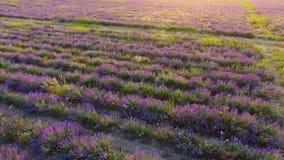 日落的,空中录影淡紫色种植园 股票录像
