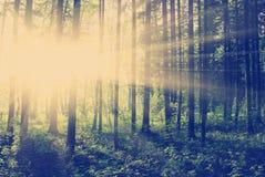 日落的绿色森林 免版税库存照片
