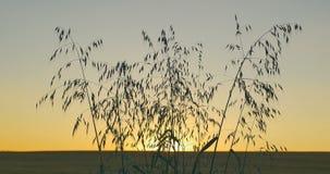 日落背景狂放的草本视图  股票录像