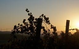 日落葡萄园在西西里岛 图库摄影