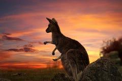 日落袋鼠澳大利亚 免版税库存图片