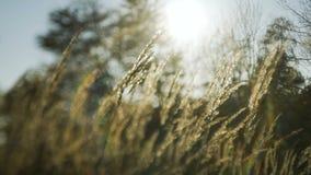 日落通过芦苇 摇摆在风的银色针茅 股票录像