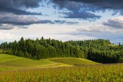 日落金黄光阐明与豪华,绿色森林对比的葡萄园风景  库存照片