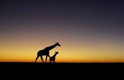 日落长颈鹿剪影 免版税图库摄影