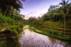 日落颜色的反射在米大阳台谷的在Ubud村庄,巴厘岛,印度尼西亚 米大阳台的农业领域 免版税库存照片