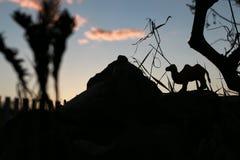 日落骆驼和金字塔 库存图片