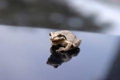 日被找到的青蛙我一个结构树 免版税库存照片