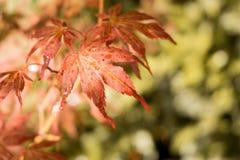 日语留下槭树红色 秋天秋季颜色 免版税库存照片