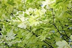 日语留下槭树 免版税库存图片