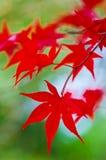 日语留下槭树 图库摄影