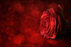 日s华伦泰 在defocused背景的红色玫瑰 免版税库存照片