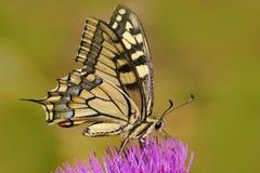 旧世界swallowtail, Papilio machaon,蝴蝶坐在自然的桃红色花 从草甸的夏天场面 Beautifu 免版税库存图片
