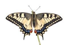 旧世界Swallowtail Papilio machaon蝴蝶在白色背景的一根枝杈全部栖息 免版税库存照片