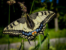 旧世界swallowtail Papilio machaon 库存照片