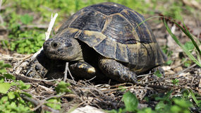 更旧的乌龟 免版税库存照片