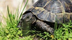 更旧的乌龟 库存照片