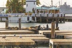 旧金山海狮 免版税图库摄影