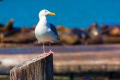 旧金山码头39海鸥和封印在加利福尼亚 库存图片