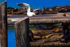 旧金山码头39海鸥和封印在加利福尼亚 免版税库存图片