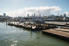 旧金山-大约2017年11月:说谎在码头39的海狮在晴天 库存图片