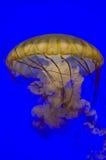 从旧金山水族馆的水母 免版税库存照片