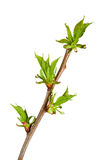 早午餐发芽的樱桃树 免版税库存图片
