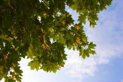 早午餐槭树 免版税库存照片