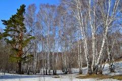 早春天风景在桦树树丛里 库存照片