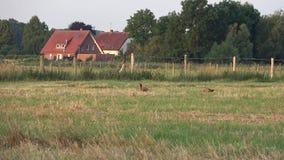 早晨、草的领域,树和一个村庄天际的 野鸡将被收获 股票视频