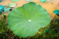早晨上上下下滚动在绿色莲花事假的露滴 免版税库存图片