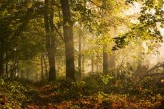 早晨侧灯和树剪影在秋天期间的森林里 免版税库存图片