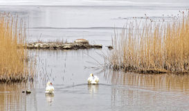 早晨光、两只天鹅和芦苇秸杆的群岛 免版税库存图片