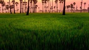 早晨光和米农场 免版税库存照片