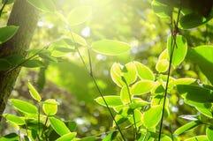 早晨光在与软的焦点的绿色森林背景中 免版税库存照片