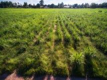 早晨光在绿色甘蔗农场在农村彭世洛,泰国 库存图片