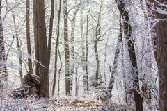 早晨光的白色结冰的冬天不可思议的森林 免版税图库摄影