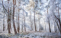 早晨光的白色结冰的冬天不可思议的森林 库存照片