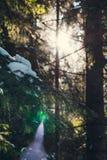 早晨冬天森林 免版税库存照片